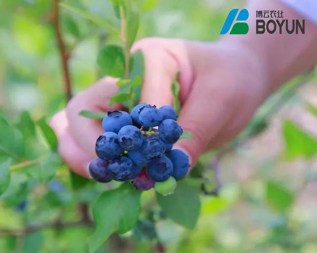 陇南蓝莓项目