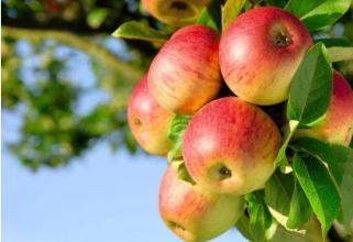 苹果灌溉施肥方案