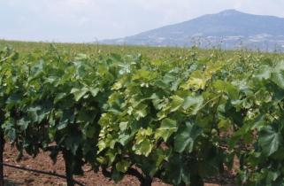 葡萄种植方案